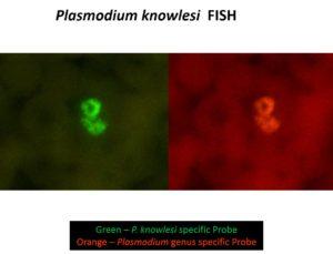 Malaria (Plasmodium knowlesi) FISH